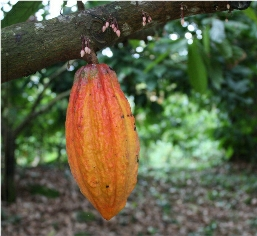 single cocoa pod on tree